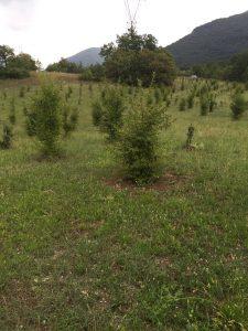 Impianto tartufigeno Quercus