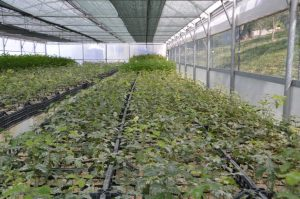 Piante micorrizzate Quercus Tartufi